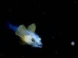ホウボウの仔魚