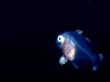 ハナビラウオの幼魚