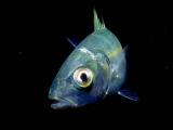 シマアジの幼魚