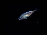 光り物の幼魚