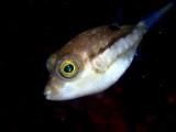浮遊系撮影に最適なキタマクラの幼魚
