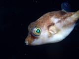 キタマクラの幼魚
