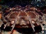 いつも寝てる鮫のオオセ