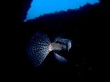 アーチの中で漂うイシガキフグ