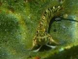 タイドプールのカエルウオ