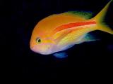 水深28mから見られるスジハナダイ