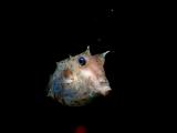 ライトに興味を持って寄ってきたウミスズメ