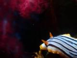 クロスジウミウシ