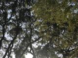 日本一の楠