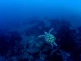 寝起きの息継ぎに向かうウミガメ