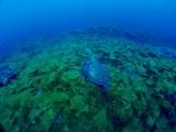 ヒロメの草原を泳ぐアオウミガメ