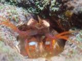 同じ珊瑚に住むフトユビジャコの仲間