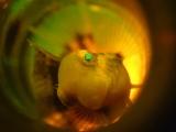 瓶で繁殖するニジギンポ