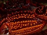 ショウジンガニの鋏足