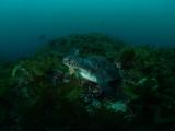 ヒロメに埋もれるアオウミガメ