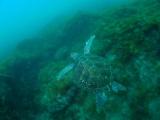 泳ぎ出したアオウミガメ