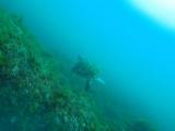 ヒロメの草原を飛ぶアオウミガメ