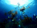 海藻は舞ってもキレイです
