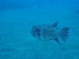 大島では初めて見たモヨウフグの成魚
