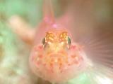 珊瑚に棲むアカイソハゼ