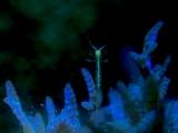 青く光るワツナギソウに棲むワレカラ
