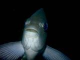 漁礁のメジナ