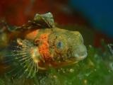 ハシゴに棲み始めてるニジギンポの幼魚