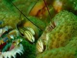 越冬したカンザシヤドカリのペアー