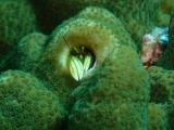 越冬した個体が多いカンザシヤドカリ