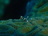 珊瑚の上のアカホシカクレエビ