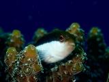 ホシゴンベの幼魚