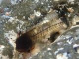 スケスケボディーのカエルウオの幼魚