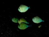 テングハギの仲間の幼魚