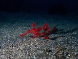 深紅のカミソリウオのペアー