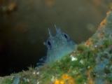 ハシゴのカエルウオの幼魚