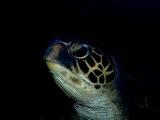 寝起きのアオウミガメ