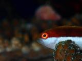 今年は数が多いホシゴンベの幼魚