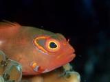 メガネゴンベの幼魚