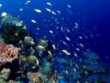 インド洋固有種のコラーレバタフライフィッシュ