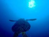 息継ぎへ向かうアオウミガメ