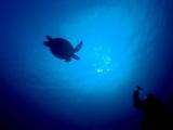 息継ぎから帰ってきたアオウミガメ