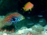 インド洋固有種のノドグロベラの仲間の幼魚