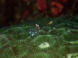 珊瑚に棲むアカホシカクレエビ