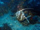 深海から来たヒメクサアジ