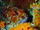 イボヤギ珊瑚に棲むカサゴ