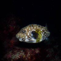 サザナミフグの仔魚