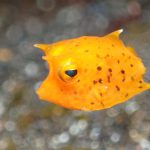 シマウミスズメの幼魚