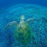 珊瑚とウミガメ
