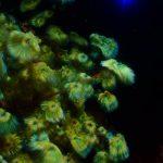 孔雀の羽根のような海藻