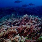 海藻カギケノリの奥にヒレナガカンパチ